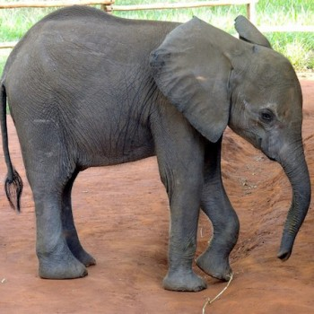 Island Elephant Rescue!