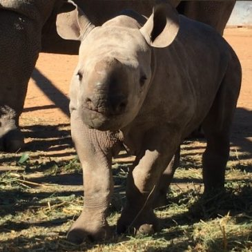 Falling In Love With A Black Rhino Calf